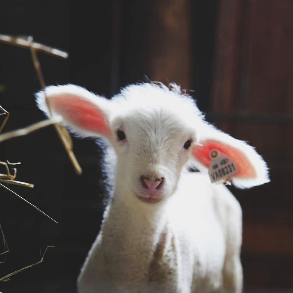 lamb Cestari Sheep & Wool Co.