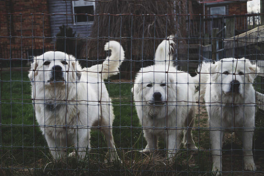 Cestari Sheep & Wool Co. guard dogs