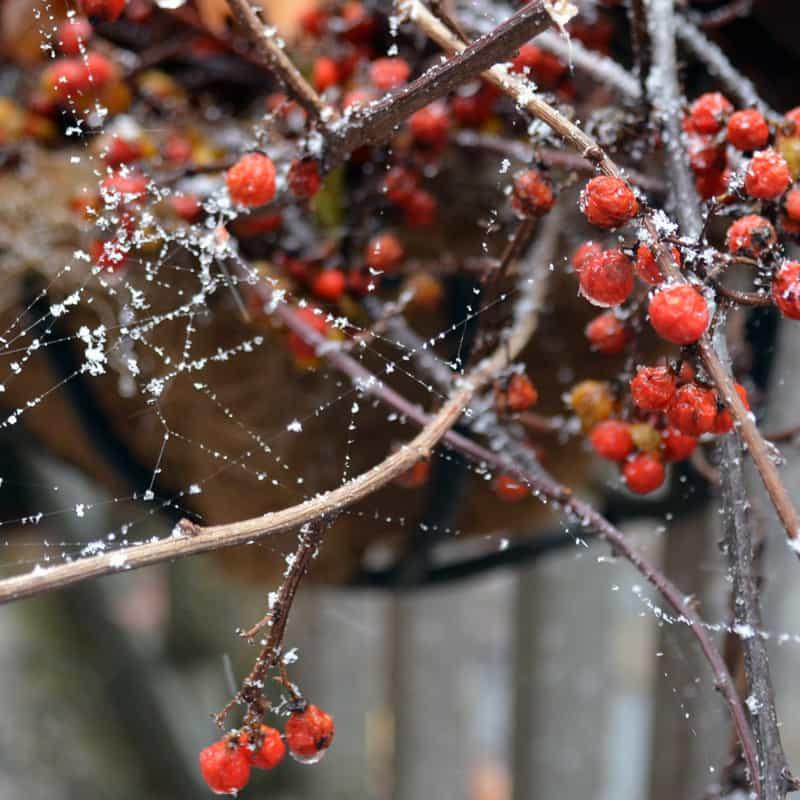 snow on cobweb