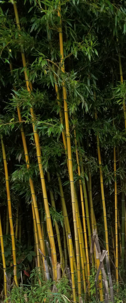 bamboo growing in Todd, NC