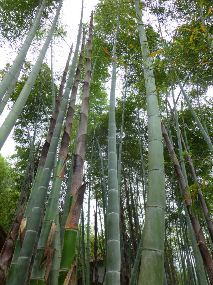 Chiaogoo bamboo forest